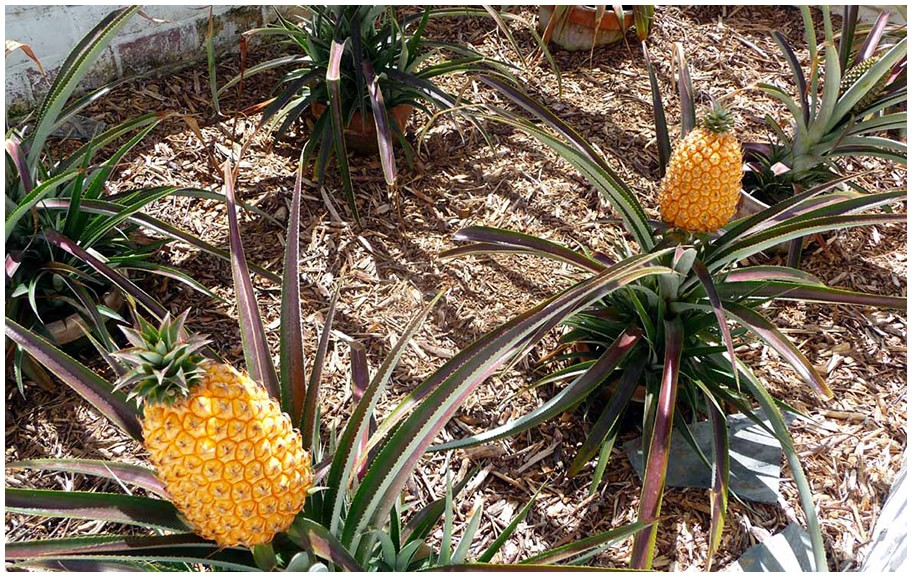 a Pineapple from the Lost Gardens of Heligan